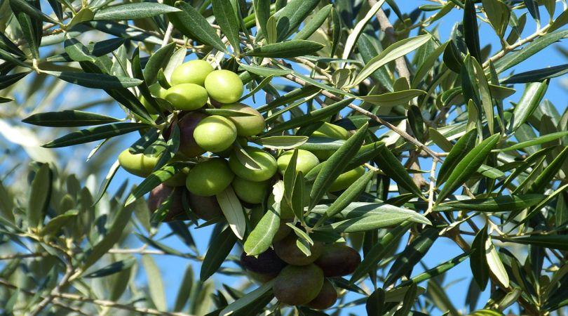 olio-doliva-il-marchio-igp-sicilia