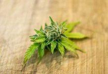 coltivare cannabis per uso personale